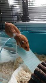 Male hamster and accessories for sale