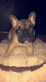 Pedigree girl French bulldog