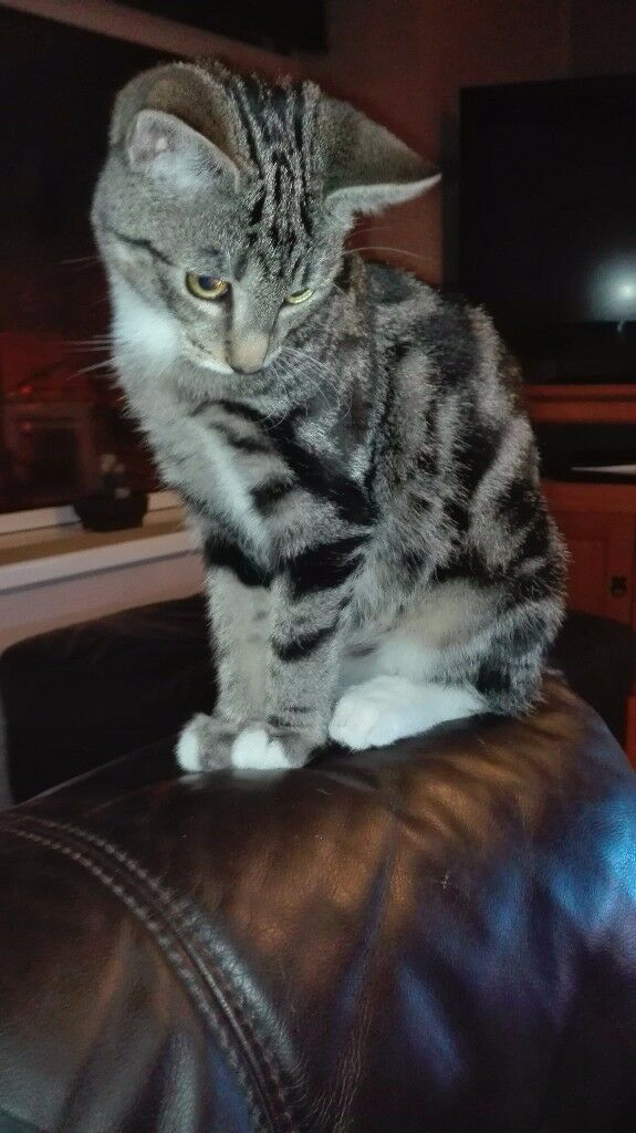 5 month old male kitten for sale