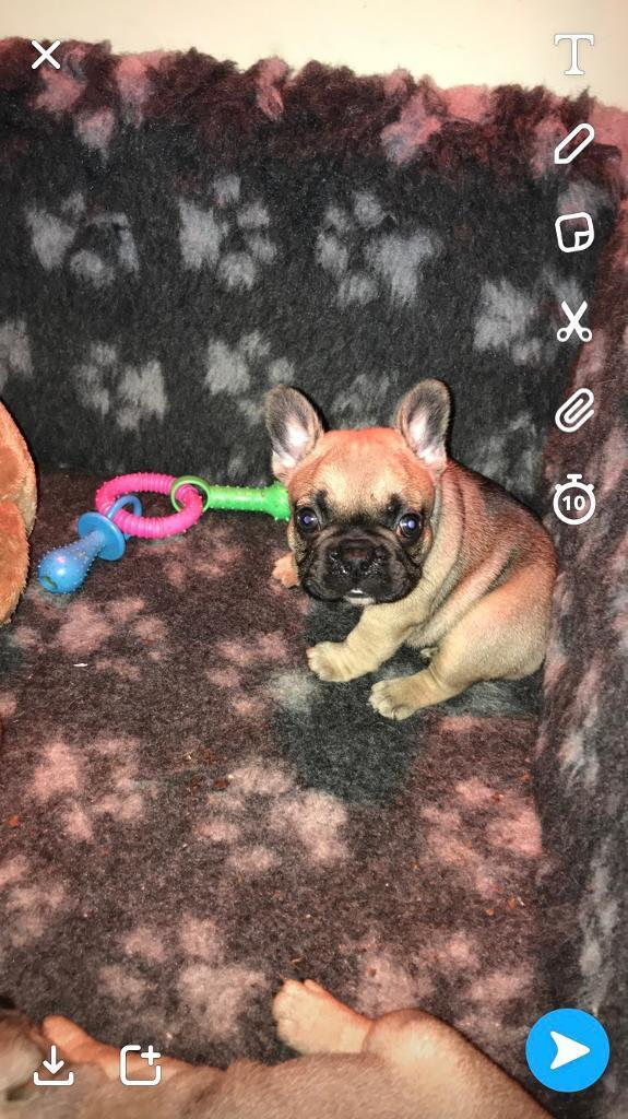 Top quality KC reg French bulldog puppies