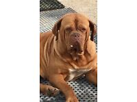 Dogue de Bordeaux x central Asian Shepard pups