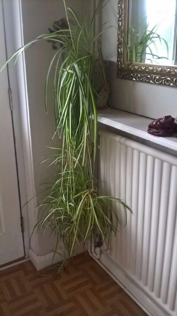 large spider plant in handmade pot in grantham lincolnshire gumtree. Black Bedroom Furniture Sets. Home Design Ideas