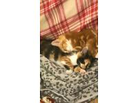 STUNNING CALICO FEMALE 9 WEEKS OLD 1st VACCINATION HAS BEEN GIVEN 04/08/20