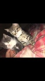 2 lovely marked half Persian kitten