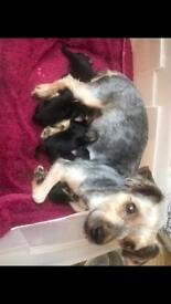 Yorkshire Terrier X Tea cup Chihuahua Puppies