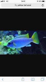 Tropical Fish (Yellow Tail Acei Malawi)
