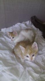 9 week famale white & ginger kitten for sale