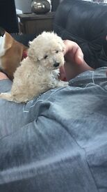 TOY POODLE/male