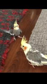 5 male cockatiels and extra large cage and toys