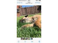 Border Terrier puppies kc reg