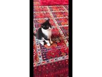 Adorable Black and White Female Kitten
