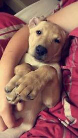 Lovely little lab for sale