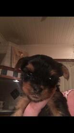 Yorkshire terrier (pedigree) pups 3 boys 1 girl