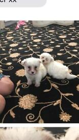 2 girls 2 boy puppies for sale
