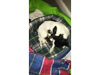 Jack Russell chihuahua cross puppies for sale