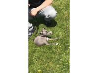 Blue Italian Greyhound Puppy (MALE)