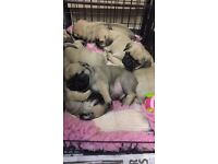 Pug puppies 4 boy 3 girls