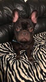 French Bulldog Male 1 year old. Full DNA back to Great Grand Parents. Full pedigree