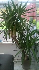 Large Yucca plant needing rehomed