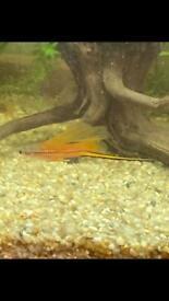 Swordfish fry