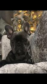 Blue French bulldog boy kc reg