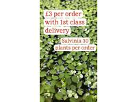 Salvinia and duckweed aquarium plants. Shipped to your door.