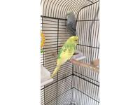 Pair of budgies for sale
