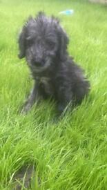 Bedlington terrier girl puppy