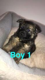 Pomchi pups 4 boys left.