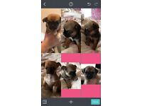Pug x chihuahua puppies for sale