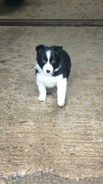Puppies Border Collies In Lochmaben Dumfries And Galloway