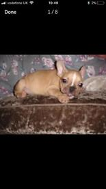 4 Beautiful Fawn French Bulldogs Puppies E/e Locus ( Carry Cream )