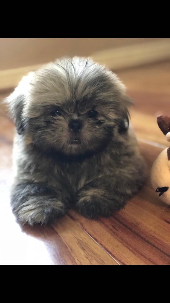 1 left!! Beautiful mini imperial Shih tzu puppies | in Huyton, Merseyside |  Gumtree