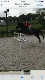 14.2 pony for sale
