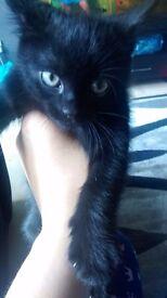 Gorgeous black kitten for sale
