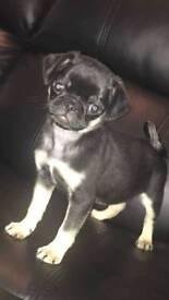 Black and tan girl pug