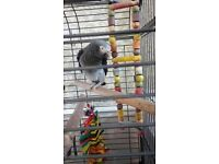 AFRICAN GREY PARROT AND CAGE WITH FULL DOCUMENTS DOB DNA CLOSED RUNG