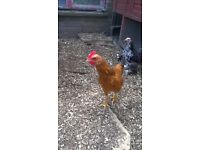 Welsummer Bantam Cockeral Free to Good Home