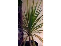phoenix canariensis mature shrub, other palm plants