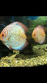 Discus for sale 4x