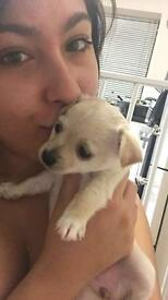 Adorable gorgeous little chihuahua x Yorkie girl puppy