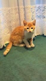 Beautiful Male Ginger Kitten 12 weeks