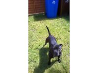 Staffy for new home