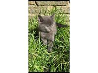 Russian blue/Persian X Tabby kittens for sale £250-£400