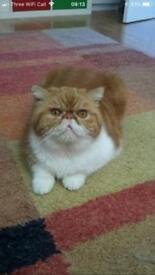 Beautiful Exotic Shorthair cats