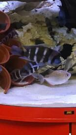 Frontosa large x4 tropical fish