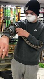 Black and white Corn Snake