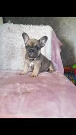 Blue sable triple carriers girl French bulldog