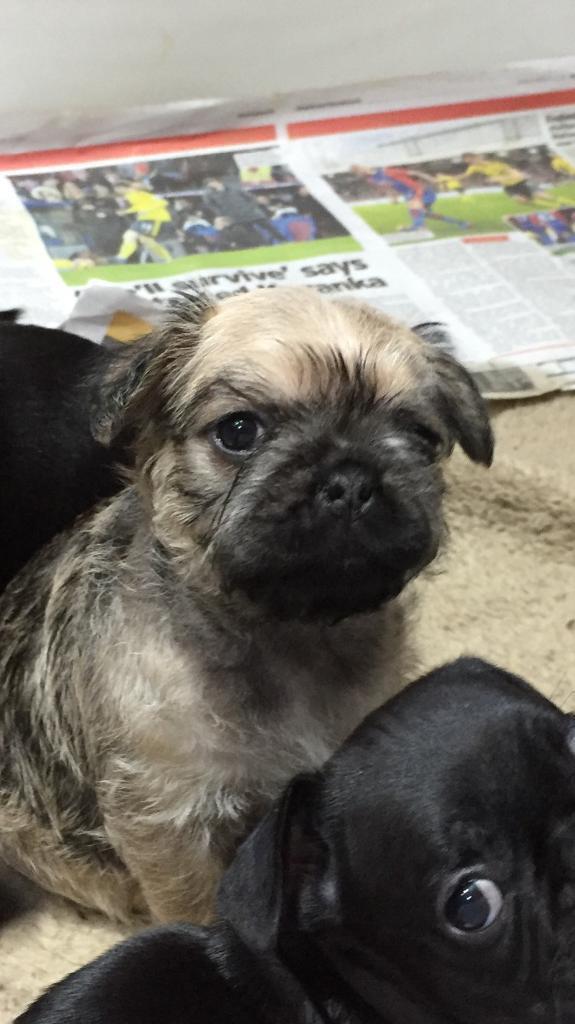 Frug Puppies For Sale In Ingleby Barwick County Durham Gumtree