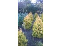 Field Grown Conifers For Sale